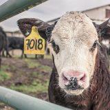 Koe - minder vlees te eten